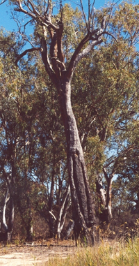 A canoe tree within the Katfish Reach area (Photo: DENR)