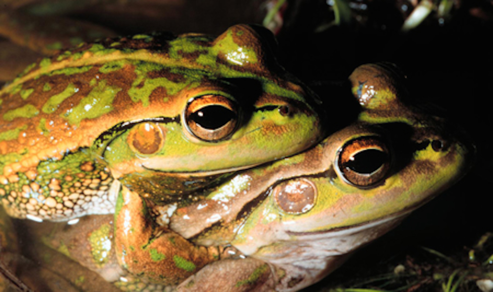 Southernbell frog