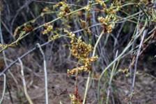 Lignum seed