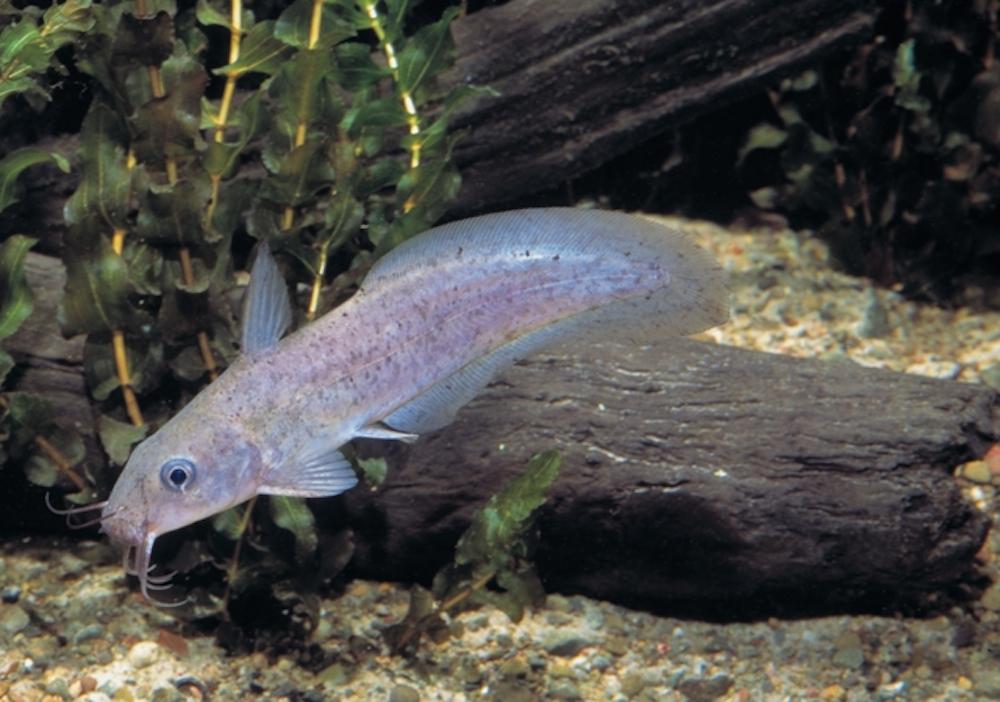 Freshwater Catfish (© MDBA)